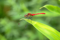 Red dragonfly Stock photo [940873] Red