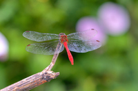 Red dragonfly Stock photo [942131] Red