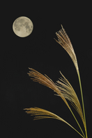 Japanese pampas grass and the moon Stock photo [34657] Japanese