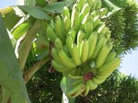 Island banana Taketomi Stock photo [1042709] Banana