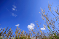 Japanese pampas grass and autumn sky Stock photo [1044996] Japanese