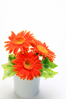 Gerbera Stock photo [1047661] Gerbera