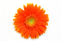 Gerbera Stock photo [1050848] Gerbera