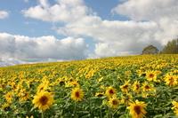 Full bloom of sunflower Stock photo [1051418] Flower