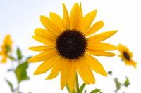 Sunflower Stock photo [1055416] Sunflower
