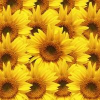 Sunflower Stock photo [1147646] Sunflower