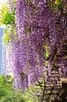 Fuji bloom garden Stock photo [1148949] Spring