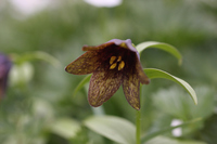 In Fritillaria Norikura Stock photo [1151830] Alpine