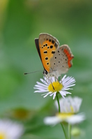 Fleabane and Lycaena phlaeas Stock photo [1152843] CHOW