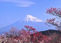 Plum and Mount Fuji Stock photo [1153171] Mt.