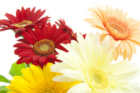 Gerbera Stock photo [1154741] Gerbera