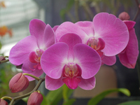Phalaenopsis Stock photo [1156375] Butterfly