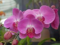 Phalaenopsis Stock photo [1156375] Butterfly