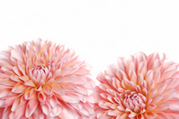 Dahlia Stock photo [1156507] Flower