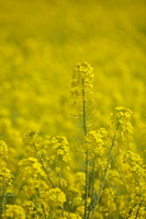 Rape blossoms Stock photo [1157515] Rape