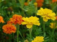 Marigold Stock photo [1157739] Sanshougik