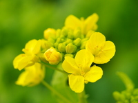 Rape blossoms Stock photo [1159383] Rape