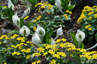 Marsh Marigold and skunk cabbage Stock photo [1159620] Water