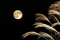 Japanese pampas grass and full moon Stock photo [1160008] Japanese