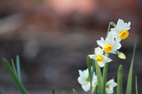 Narcissus, flowering and bud Stock photo [1160670] Narcissus