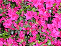 Azalea in full bloom Stock photo [1161211] In