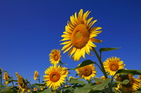 Sunflower Stock photo [1249658] Sunflower