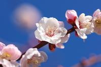 Prunus Mume Stock photo [1250841] Prunus