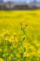 Rape field Stock photo [1251258] Rape