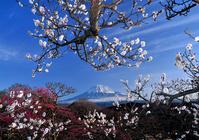 Plum and Mount Fuji Stock photo [1253434] Mt.