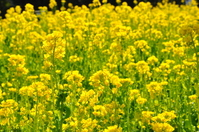 Minami Boso rape field Stock photo [1254668] Rape