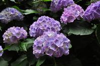 Purple Meigetsuin hydrangea Stock photo [1255189] Hydrangea
