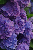 Hydrangea purple Stock photo [1258030] Hydrangea