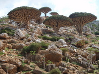 Ryuchi-ju Stock photo [1258928] Socotra