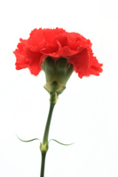 Red carnation Stock photo [1259155] Carnation