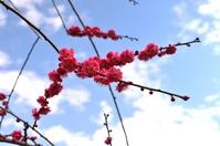 Weeping plum Stock photo [1261251] Aichi