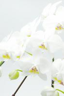 Phalaenopsis up Stock photo [1263380] Phalaenopsis