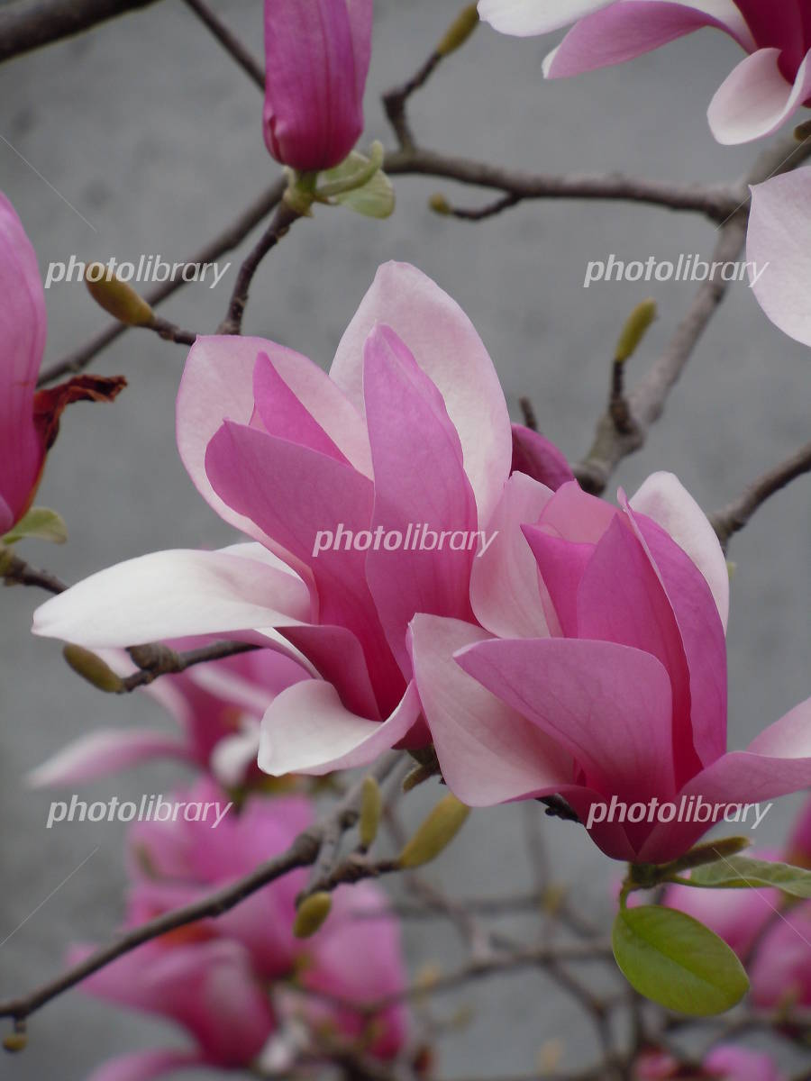 紫木蓮の花 .の写真
