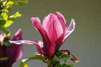 Purple also Clen Stock photo [1343241] Magnolia