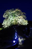 Daigo cherry night Stock photo [1344240] 1000