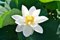 Lotus root of flower Stock photo [1345316] Lotus