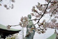Sakura of the ancient capital of Kamakura Stock photo [1345389] Kamakura