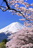 Cherry Kawaguchiko banks and Mount Fuji Stock photo [1347778] Mt.