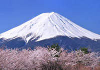 Cherry Kawaguchiko banks and Mount Fuji Stock photo [1347783] Mt.