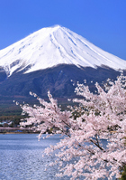 Cherry Kawaguchiko banks and Mount Fuji Stock photo [1347796] Mt.