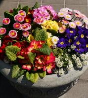 Primula Stock photo [1351243] Gardening