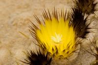 Echinocactus grusonii of flower Stock photo [1433055] Echinocactus
