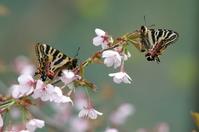 Two animals Luehdorfia that stops in Sakura Stock photo [1433401] Butterfly