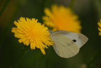 Butterfly Stock photo [1433871] Pieris