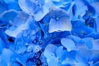 Hydrangea wet in rain Stock photo [1434102] Hydrangea