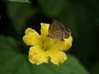 黄色い花とシジミチョウ